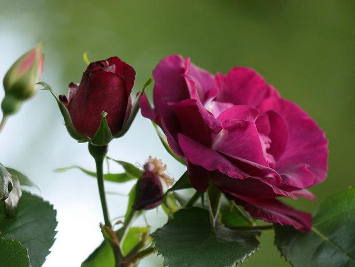 ソニャドール(Sonador)の花が増えてきた。ツルバラ。2021年-061.jpg