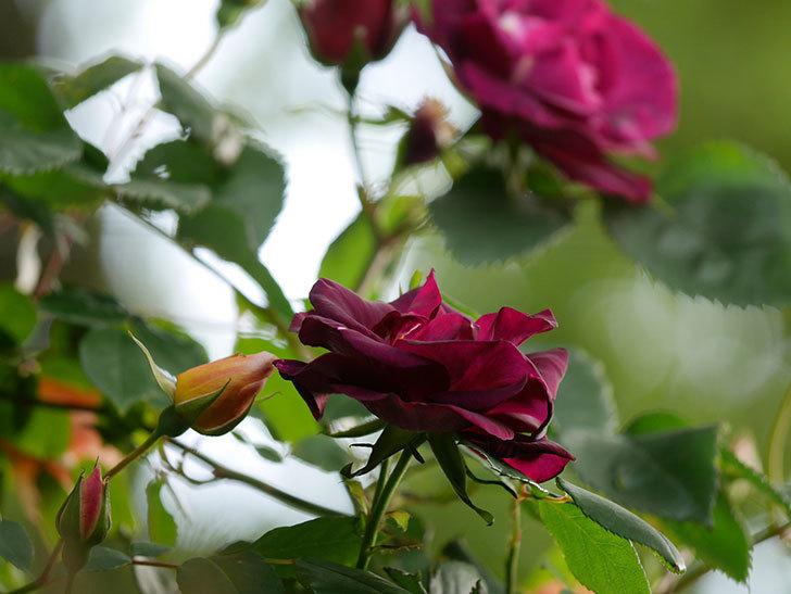 ソニャドール(Sonador)の花が増えてきた。ツルバラ。2021年-063.jpg
