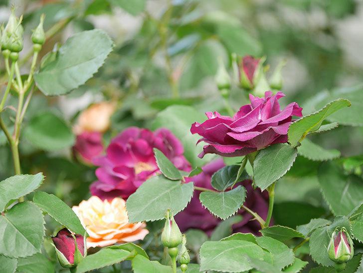 ソニャドール(Sonador)の花が増えてきた。ツルバラ。2021年-065.jpg