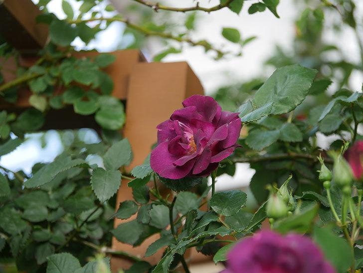 ソニャドール(Sonador)の花が増えてきた。ツルバラ。2021年-066.jpg