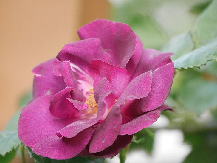 ソニャドール(Sonador)の花が増えてきた。ツルバラ。2021年-067.jpg