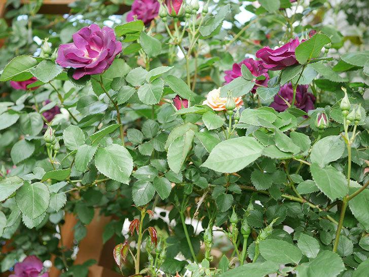 ソニャドール(Sonador)の花が増えてきた。ツルバラ。2021年-069.jpg