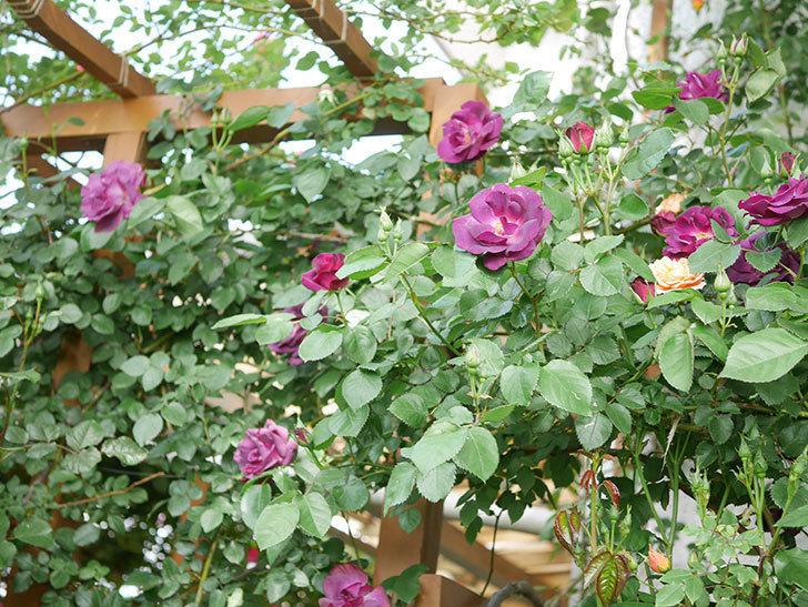 ソニャドール(Sonador)の花が増えてきた。ツルバラ。2021年-070.jpg