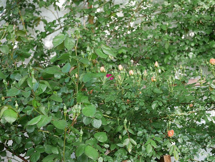 ソニャドール(Sonador)の花が少し咲いた。ツルバラ。2021年-002.jpg