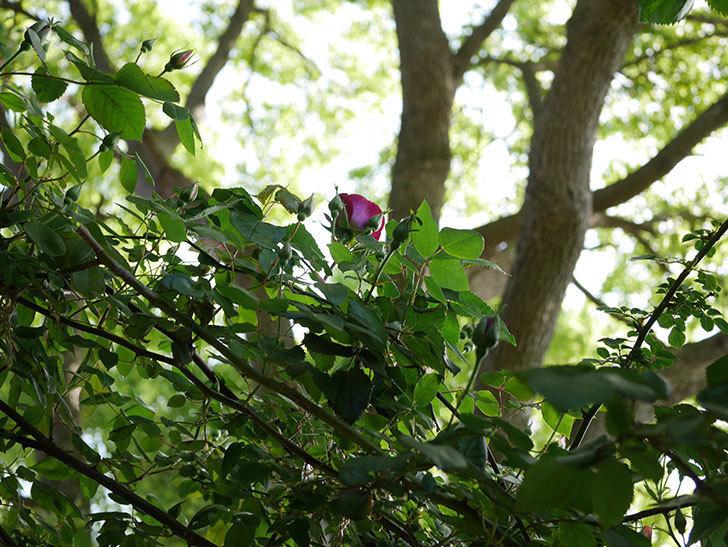 ソニャドール(Sonador)の花が少し咲いた。ツルバラ。2021年-003.jpg