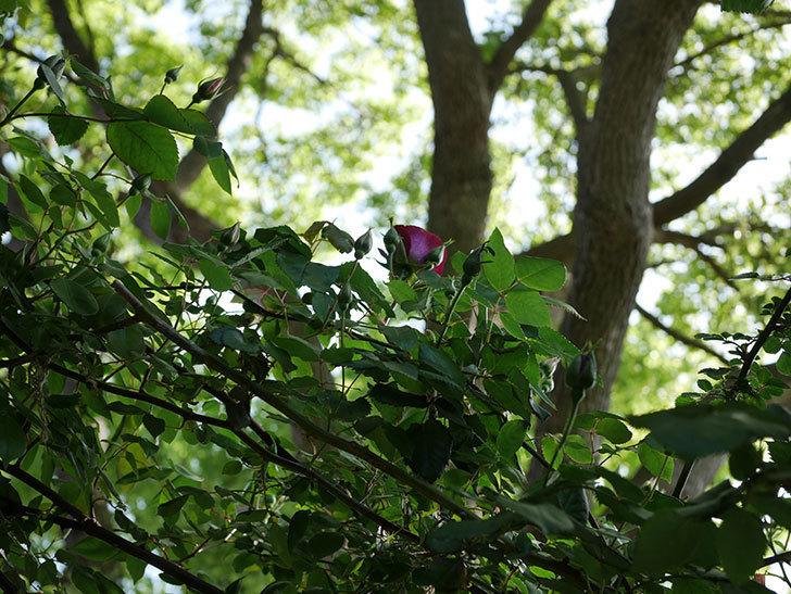 ソニャドール(Sonador)の花が少し咲いた。ツルバラ。2021年-004.jpg