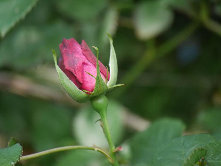 ソニャドール(Sonador)の花が少し咲いた。ツルバラ。2021年-010.jpg