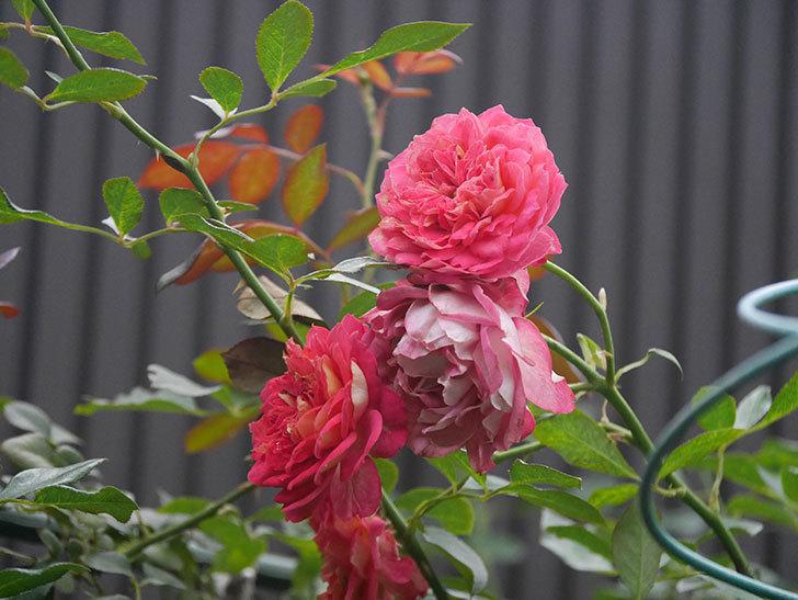 ソレイユロマンティカ(Soleil Romantica)の2番花がまた咲いた。ツルバラ。2020年-001.jpg