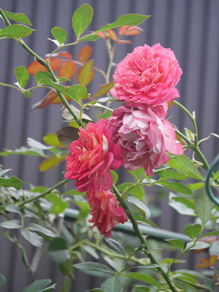 ソレイユロマンティカ(Soleil Romantica)の2番花がまた咲いた。ツルバラ。2020年-002.jpg