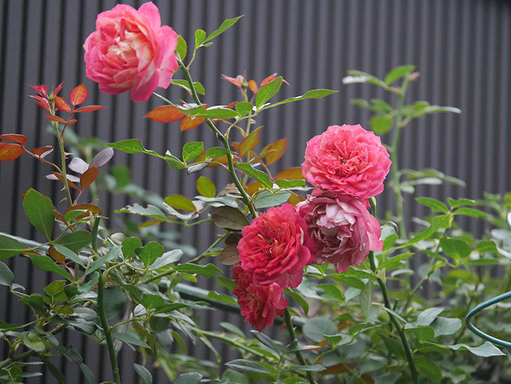 ソレイユロマンティカ(Soleil Romantica)の2番花がまた咲いた。ツルバラ。2020年-004.jpg