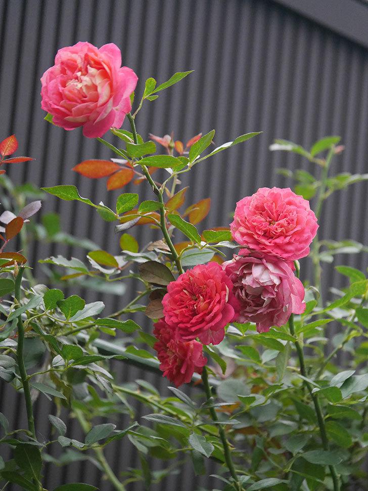 ソレイユロマンティカ(Soleil Romantica)の2番花がまた咲いた。ツルバラ。2020年-005.jpg