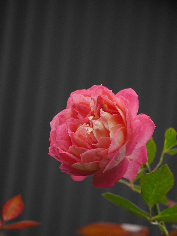 ソレイユロマンティカ(Soleil Romantica)の2番花がまた咲いた。ツルバラ。2020年-006.jpg
