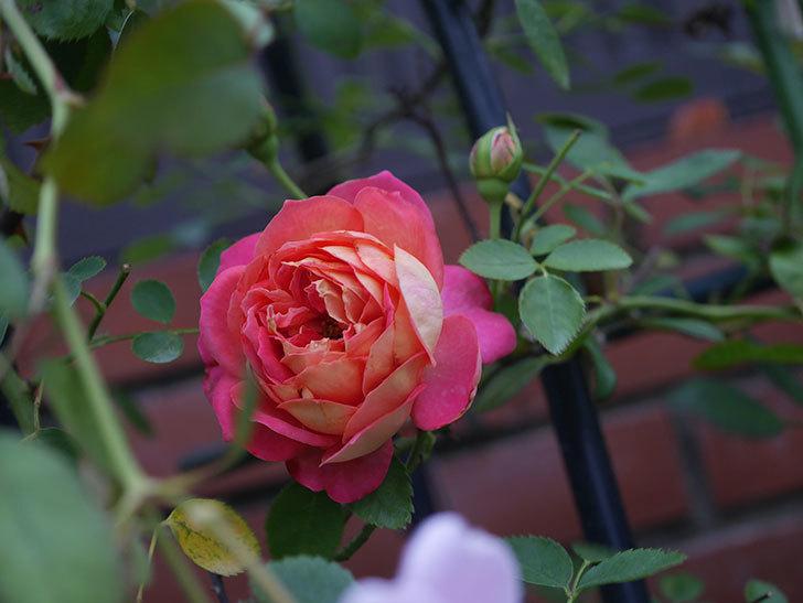 ソレイユロマンティカ(Soleil Romantica)の2番花がまた咲いた。ツルバラ。2020年-007.jpg