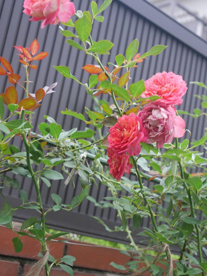 ソレイユロマンティカ(Soleil Romantica)の2番花がまた咲いた。ツルバラ。2020年-008.jpg
