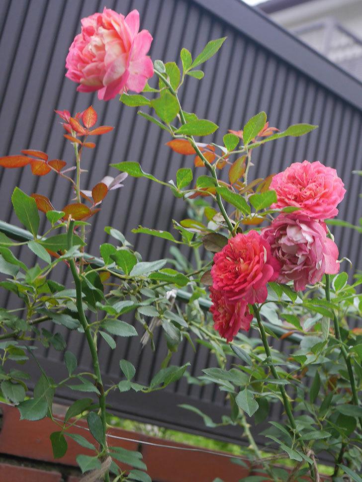 ソレイユロマンティカ(Soleil Romantica)の2番花がまた咲いた。ツルバラ。2020年-009.jpg