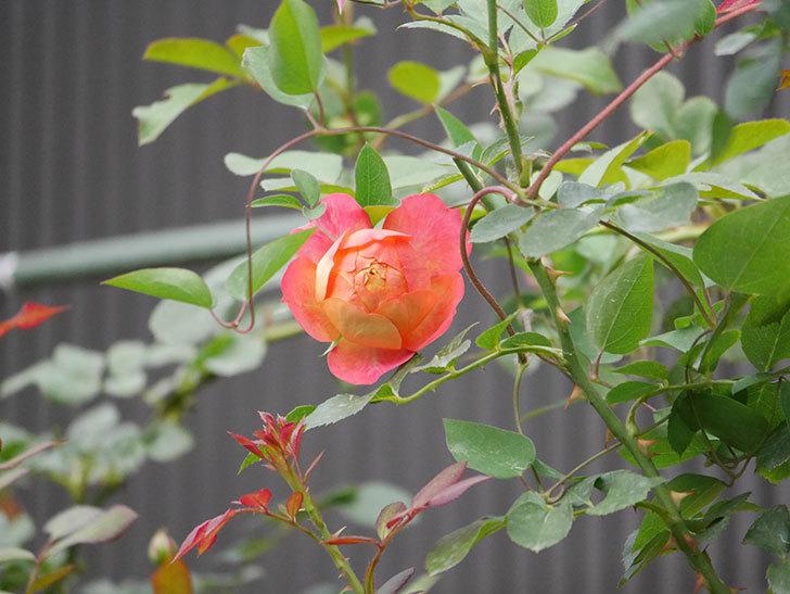 ソレイユロマンティカ(Soleil Romantica)の2番花が咲いた。ツルバラ。2020年-001.jpg