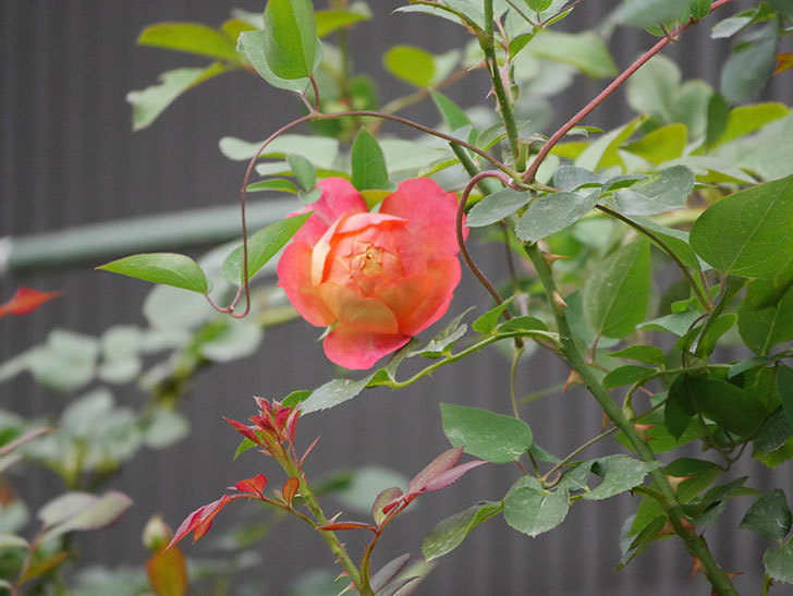 ソレイユロマンティカ(Soleil Romantica)の2番花が咲いた。ツルバラ。2020年-002.jpg