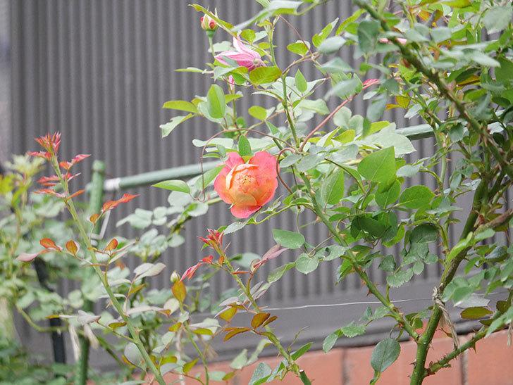 ソレイユロマンティカ(Soleil Romantica)の2番花が咲いた。ツルバラ。2020年-003.jpg