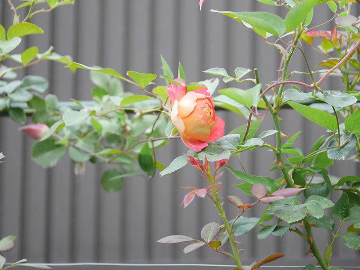 ソレイユロマンティカ(Soleil Romantica)の2番花が咲いた。ツルバラ。2020年-006.jpg