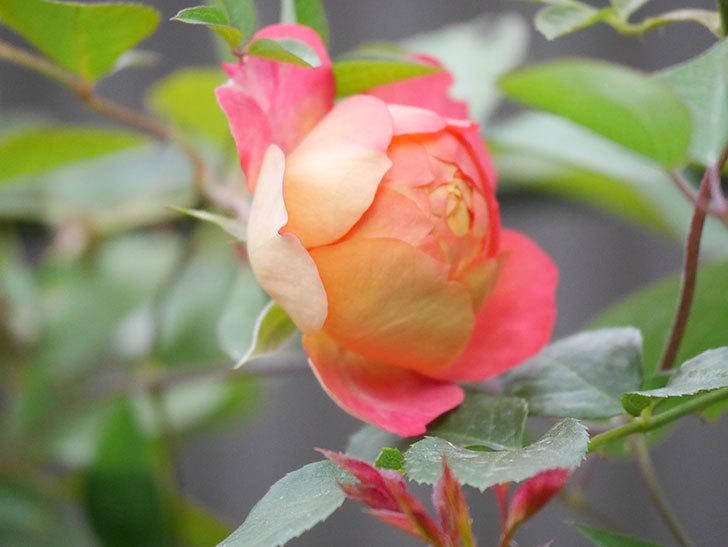 ソレイユロマンティカ(Soleil Romantica)の2番花が咲いた。ツルバラ。2020年-008.jpg