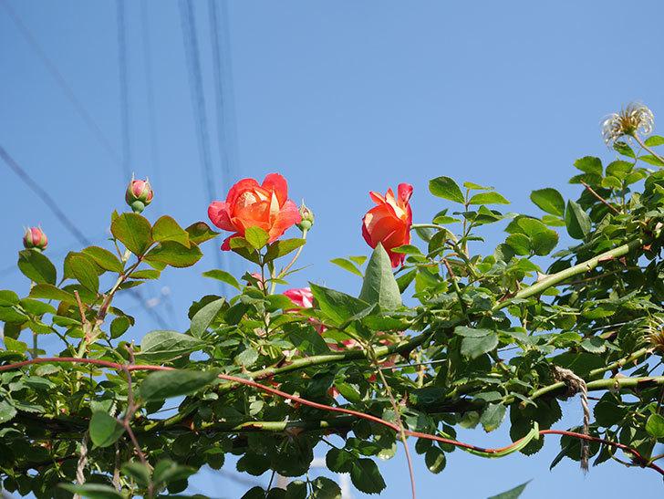 ソレイユロマンティカ(Soleil Romantica)の2番花が咲いた。ツルバラ。2021年-002.jpg