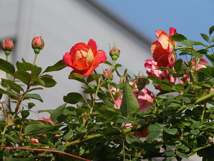 ソレイユロマンティカ(Soleil Romantica)の2番花が咲いた。ツルバラ。2021年-003.jpg