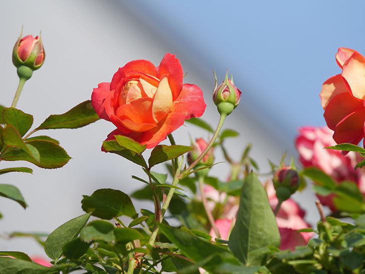 ソレイユロマンティカ(Soleil Romantica)の2番花が咲いた。ツルバラ。2021年-004.jpg
