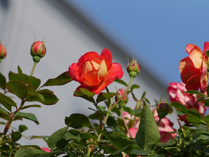 ソレイユロマンティカ(Soleil Romantica)の2番花が咲いた。ツルバラ。2021年-005.jpg