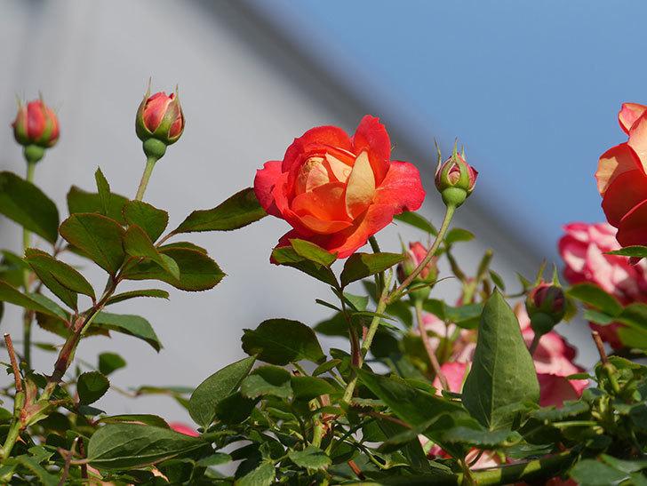 ソレイユロマンティカ(Soleil Romantica)の2番花が咲いた。ツルバラ。2021年-006.jpg