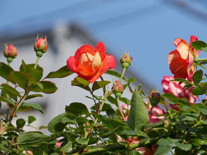 ソレイユロマンティカ(Soleil Romantica)の2番花が咲いた。ツルバラ。2021年-007.jpg