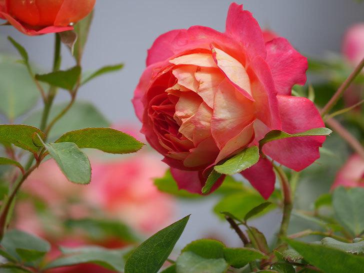 ソレイユロマンティカ(Soleil Romantica)の2番花が咲いた。ツルバラ。2021年-009.jpg