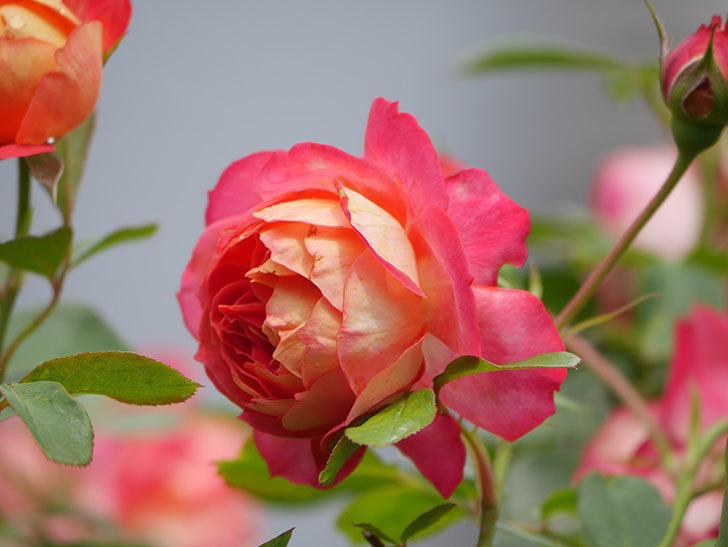 ソレイユロマンティカ(Soleil Romantica)の2番花が咲いた。ツルバラ。2021年-010.jpg