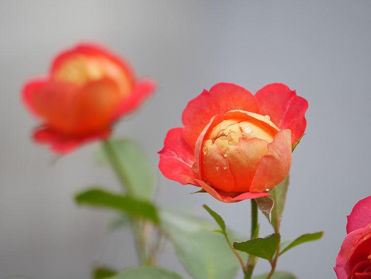 ソレイユロマンティカ(Soleil Romantica)の2番花が咲いた。ツルバラ。2021年-011.jpg