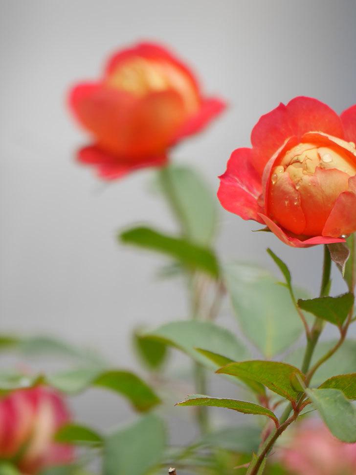 ソレイユロマンティカ(Soleil Romantica)の2番花が咲いた。ツルバラ。2021年-012.jpg