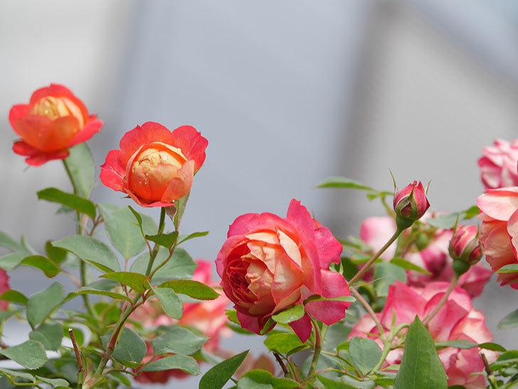 ソレイユロマンティカ(Soleil Romantica)の2番花が咲いた。ツルバラ。2021年-013.jpg