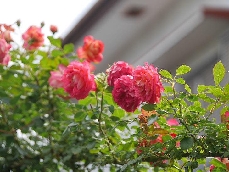 ソレイユロマンティカ(Soleil Romantica)の2番花が咲いた。ツルバラ。2021年-014.jpg