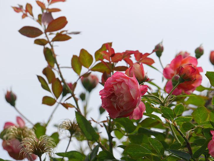 ソレイユロマンティカ(Soleil Romantica)の2番花が咲いた。ツルバラ。2021年-016.jpg