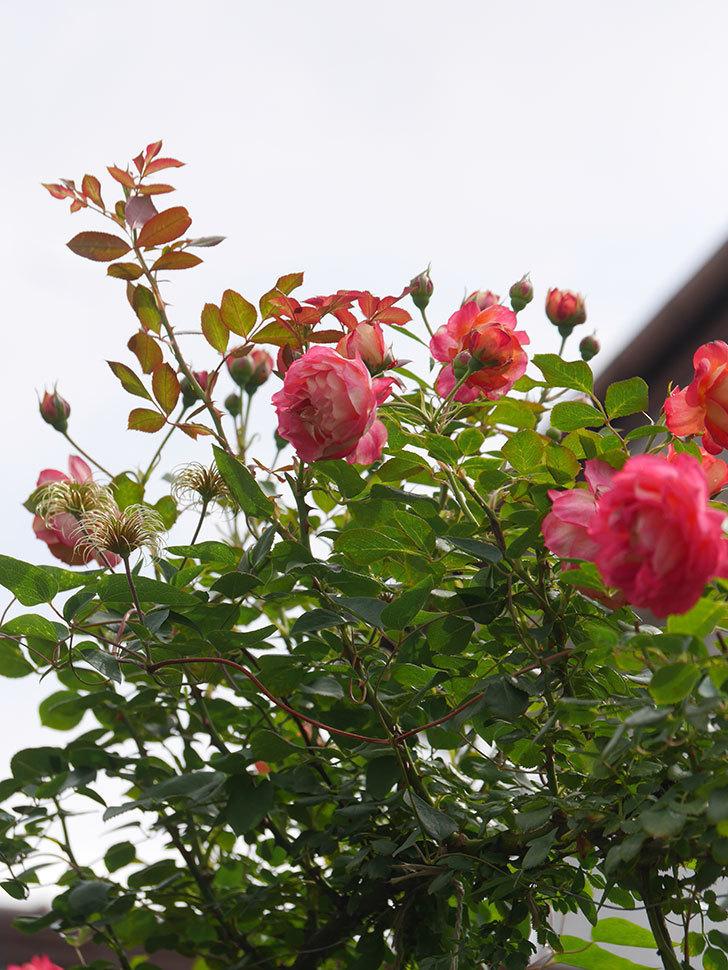 ソレイユロマンティカ(Soleil Romantica)の2番花が咲いた。ツルバラ。2021年-017.jpg
