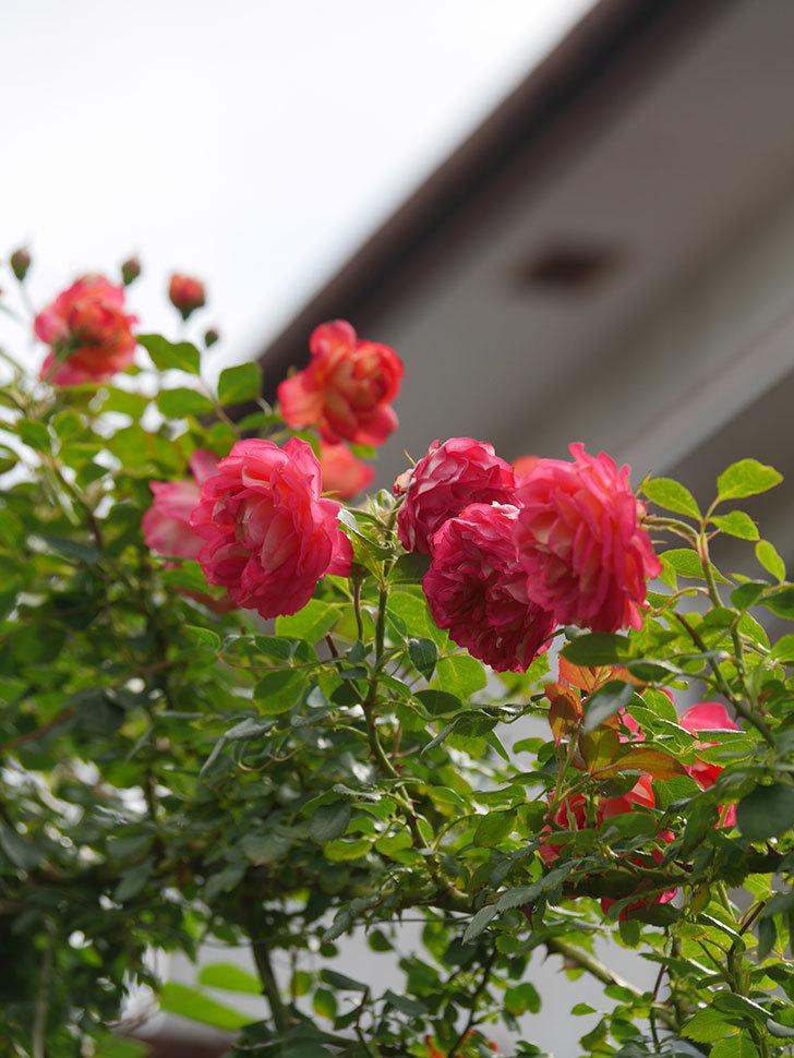 ソレイユロマンティカ(Soleil Romantica)の2番花が咲いた。ツルバラ。2021年-018.jpg