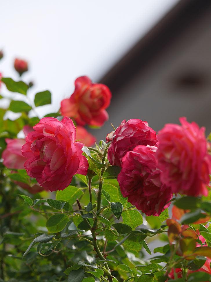 ソレイユロマンティカ(Soleil Romantica)の2番花が咲いた。ツルバラ。2021年-019.jpg