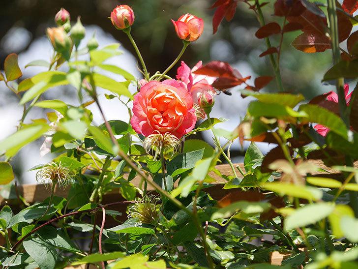 ソレイユロマンティカ(Soleil Romantica)の2番花が咲いた。ツルバラ。2021年-020.jpg