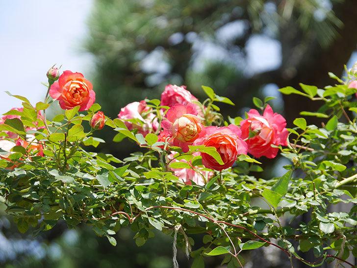 ソレイユロマンティカ(Soleil Romantica)の2番花が咲いた。ツルバラ。2021年-022.jpg