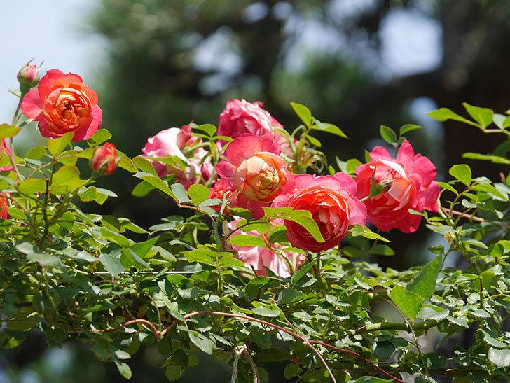 ソレイユロマンティカ(Soleil Romantica)の2番花が咲いた。ツルバラ。2021年-023.jpg
