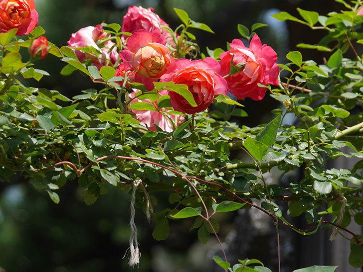 ソレイユロマンティカ(Soleil Romantica)の2番花が咲いた。ツルバラ。2021年-024.jpg