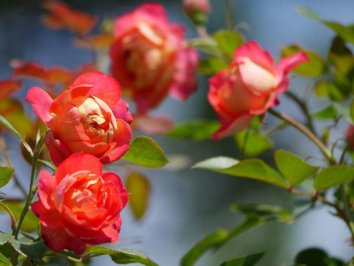 ソレイユロマンティカ(Soleil Romantica)の2番花が咲いた。ツルバラ。2021年-028.jpg