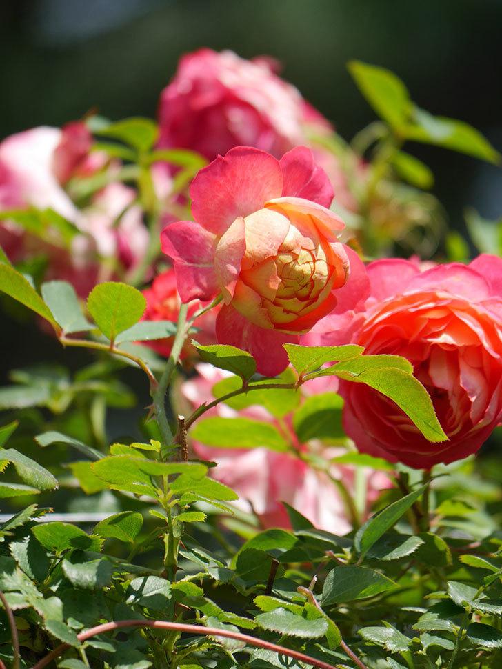 ソレイユロマンティカ(Soleil Romantica)の2番花が咲いた。ツルバラ。2021年-032.jpg