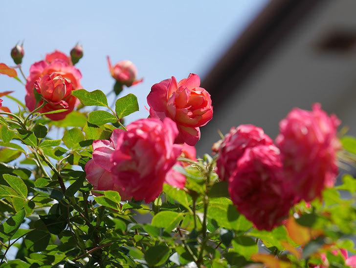 ソレイユロマンティカ(Soleil Romantica)の2番花が咲いた。ツルバラ。2021年-033.jpg