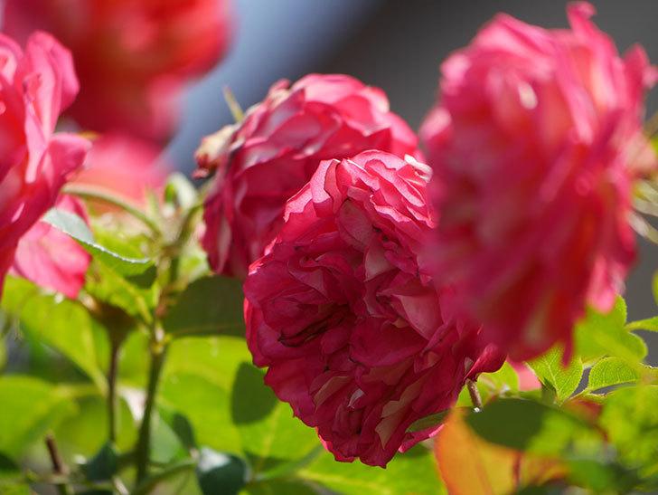 ソレイユロマンティカ(Soleil Romantica)の2番花が咲いた。ツルバラ。2021年-034.jpg