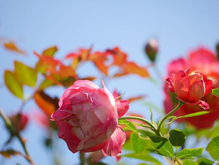 ソレイユロマンティカ(Soleil Romantica)の2番花が咲いた。ツルバラ。2021年-035.jpg