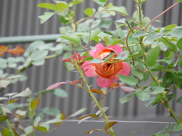 ソレイユロマンティカ(Soleil Romantica)の2番花が増えてきた。ツルバラ。2020年-001.jpg